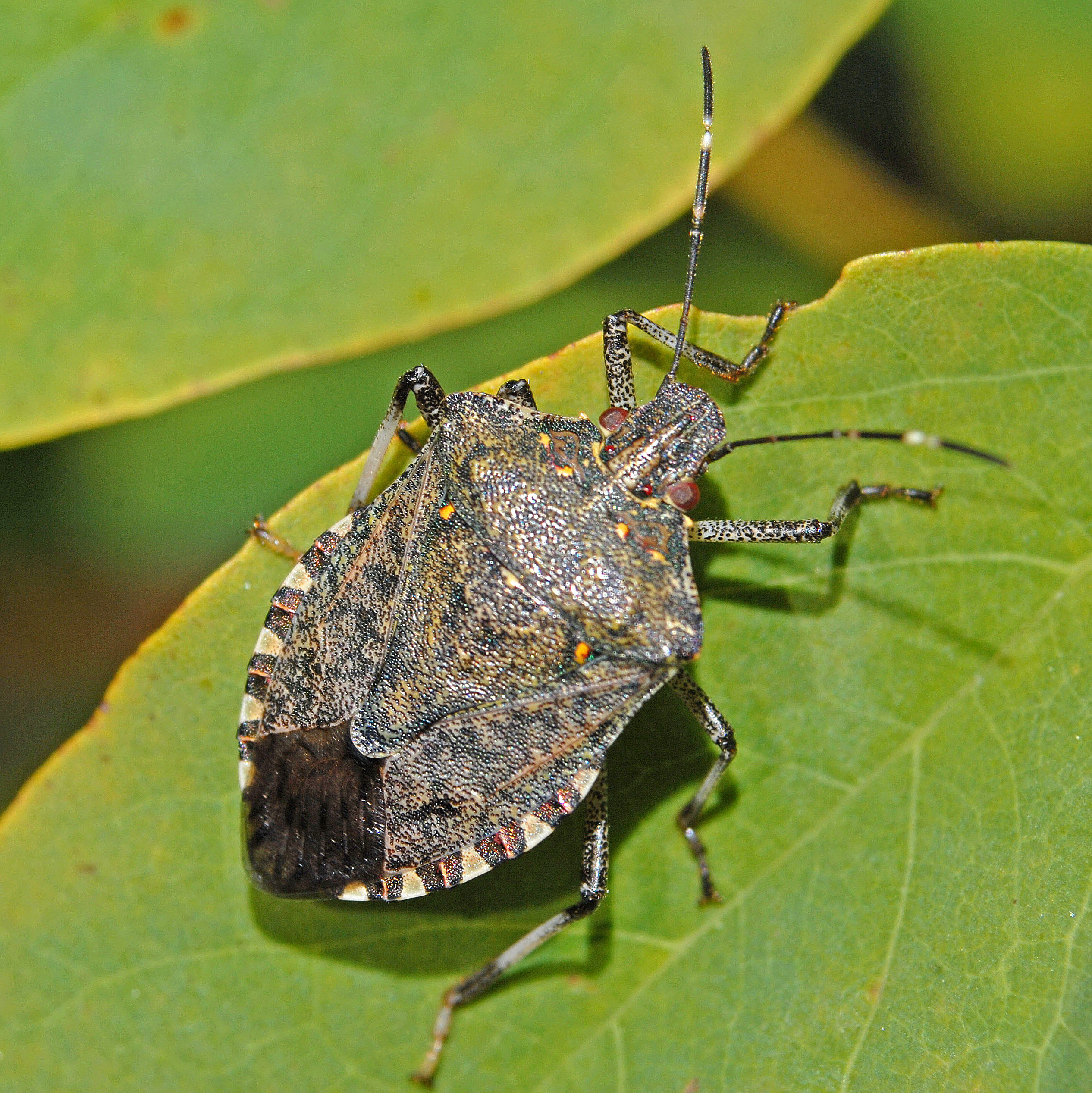 Brown marmorated stink bug - Wikipedia