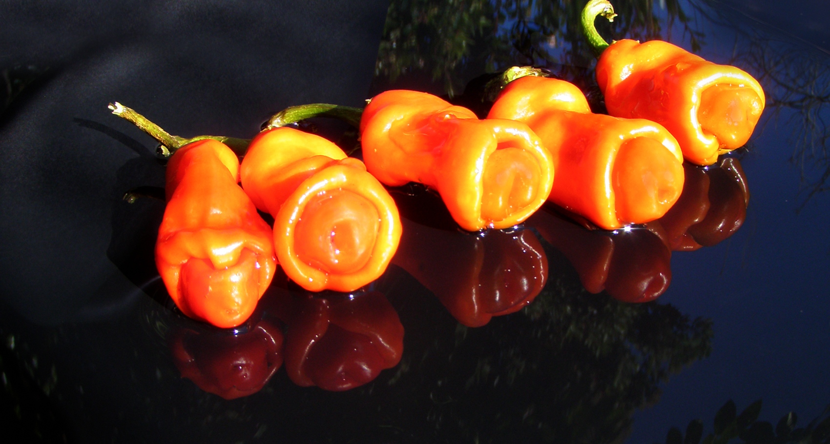 File Peter pepper Capsicum annuum var annuum