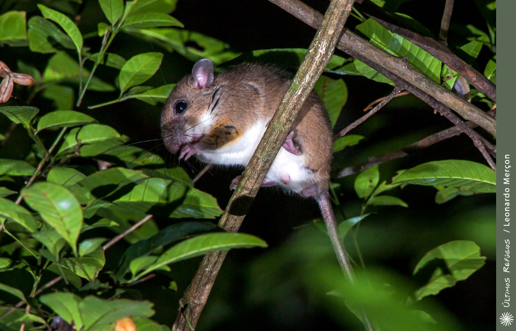 Atlantic Forest climbing mouse - Wikipedia