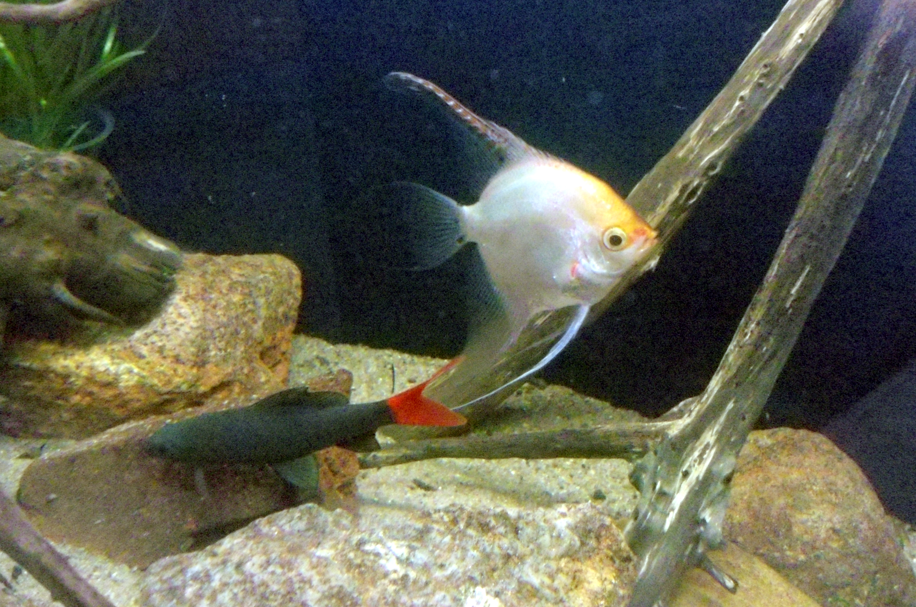 File Red Tailed Black Shark Epalzeorhynchos Bicolor Along With An