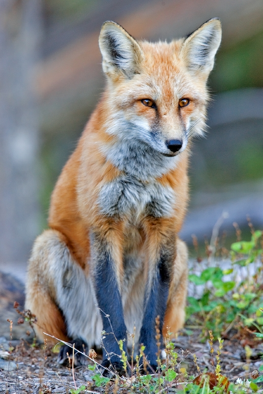 http://upload.wikimedia.org/wikipedia/commons/a/a0/Red_fox.jpg