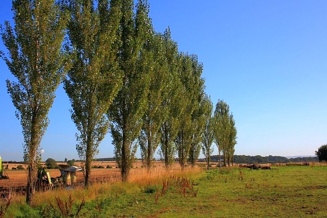 File:Row of Poplar Trees - geograph.org.uk - 1481344.jpg ...