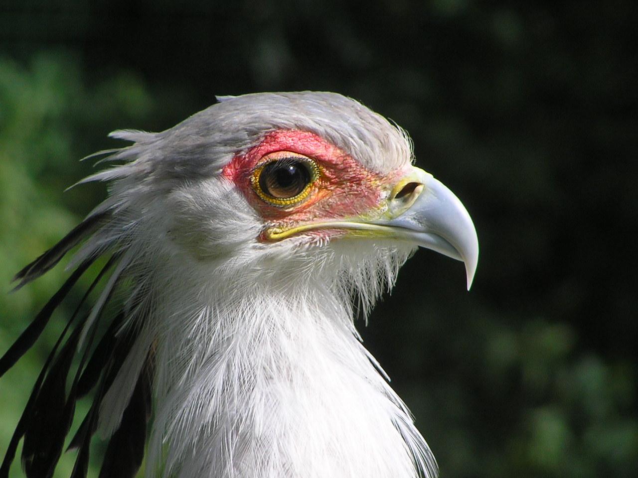 عالم الطيور - الطائر الجميل (طائر السكرتير )