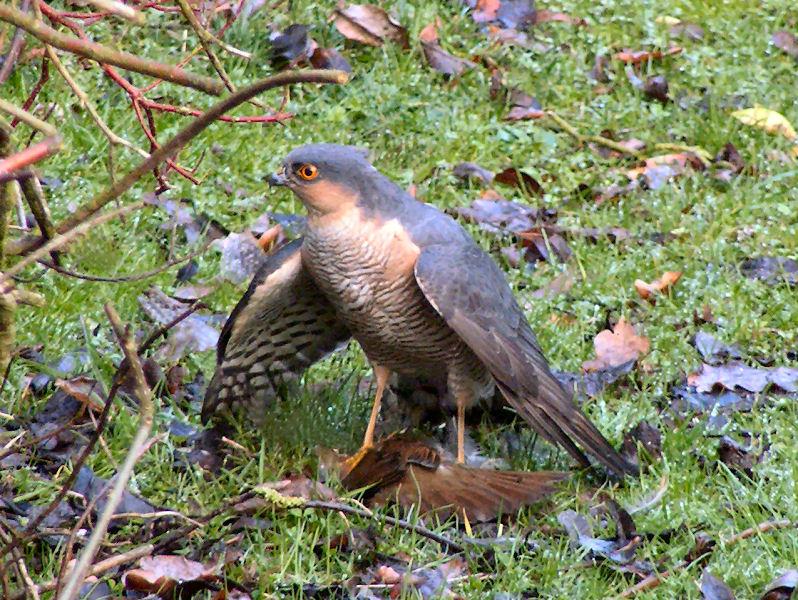 Ficheiro:Sparrowhawk-Male.JPG