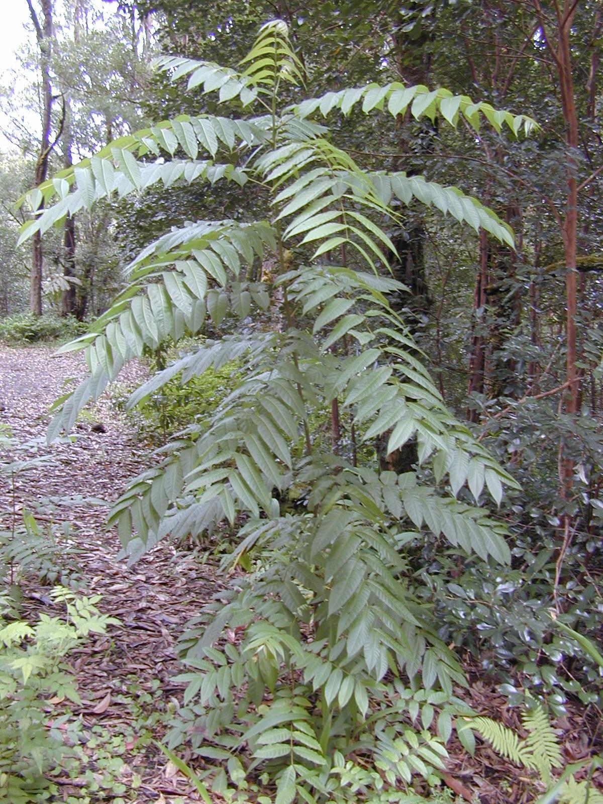 Red Cedar Tree ~ Toona ciliata wikipedia
