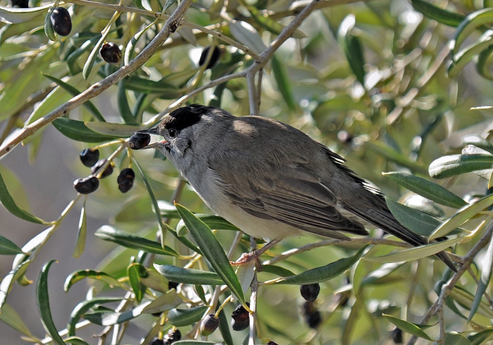 عکس زیبا از پرنده سسک سرسیاه روی درخت زیتون