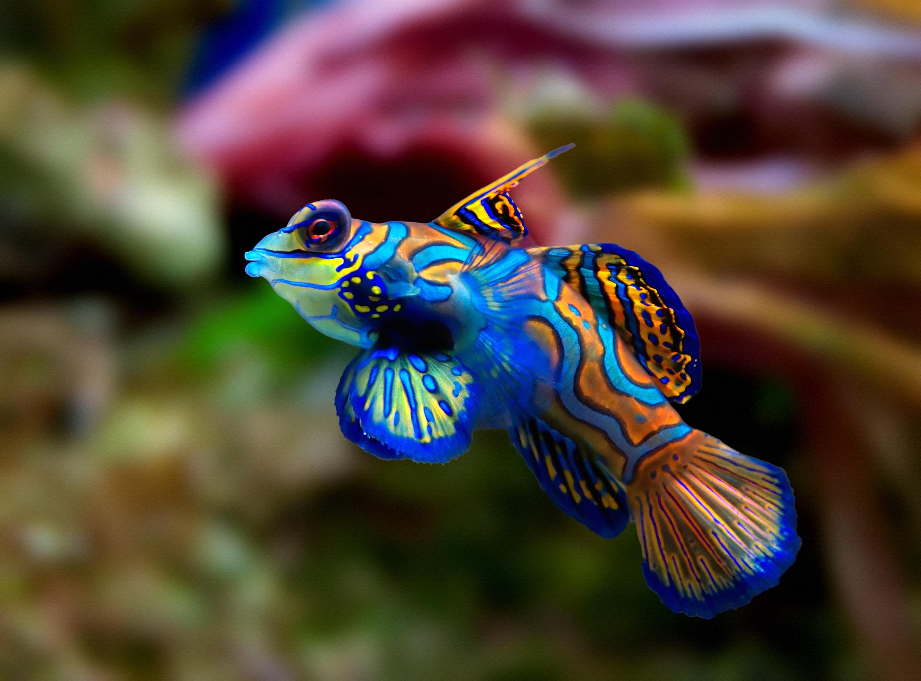 Hervorragend Mandarinfisch – Wikipedia CL31