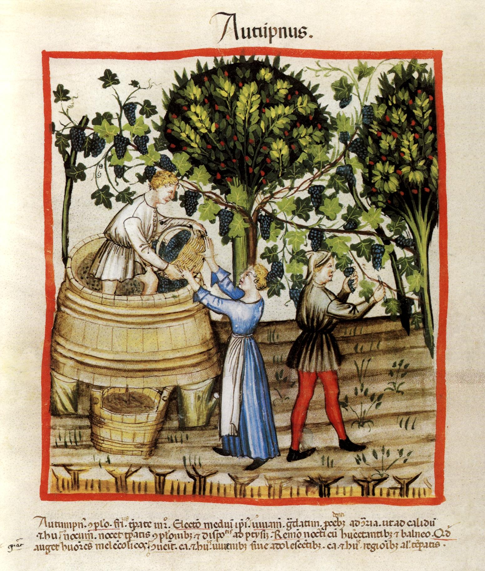 """""""Herbst"""": Weinlese in einer illustrierten Handschrift des Tacuinum Sanitatis, um 1390. Wien, ÖNB, cod. vindob. Series nova 2644, fol. 54v."""