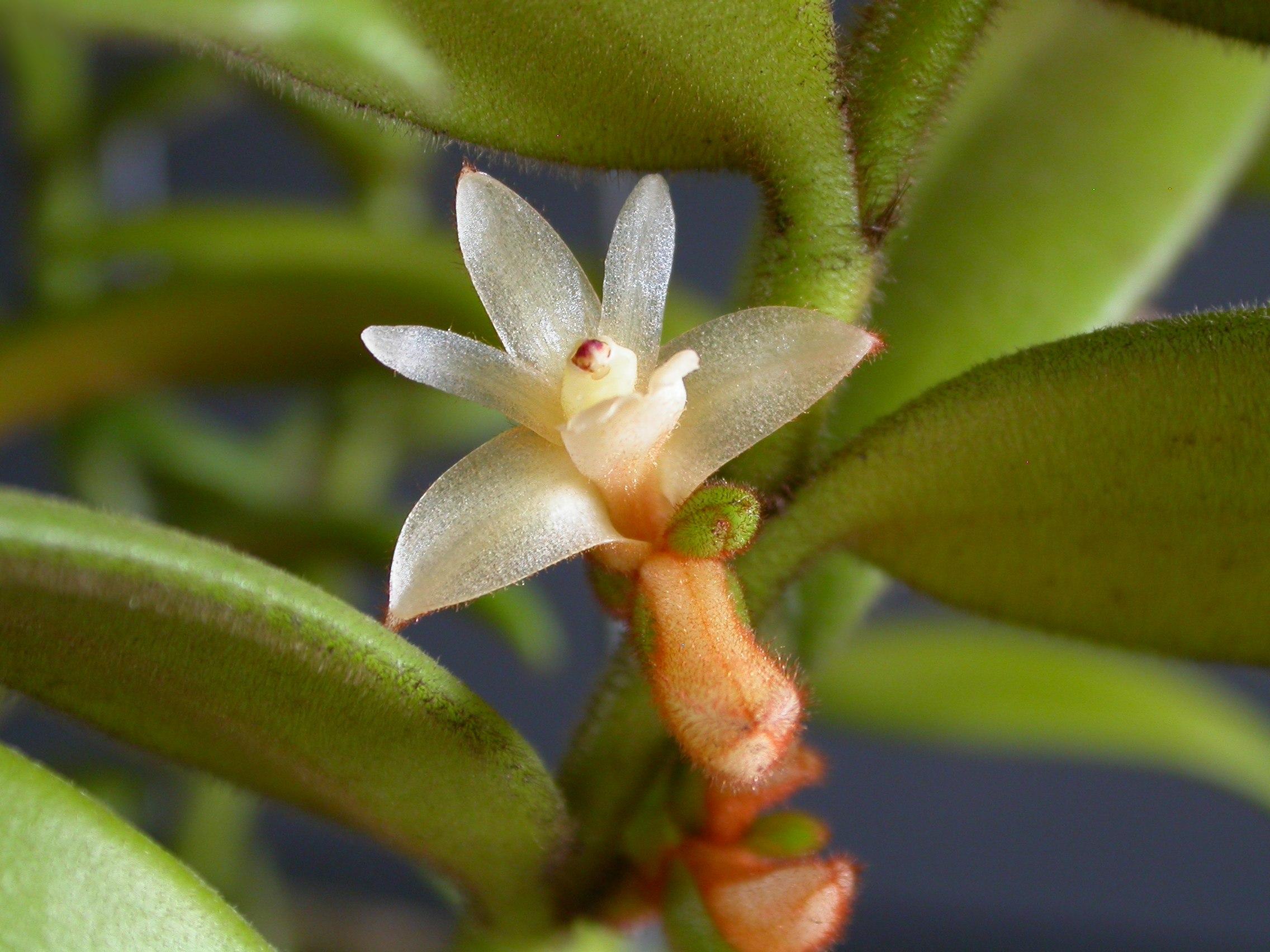 Hoa gieo tứ tuyệt 3 Trichotosia_velutina_8