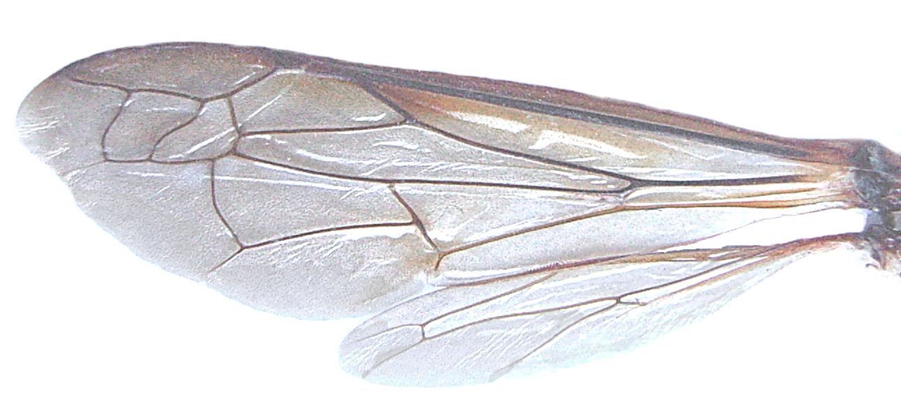 Description waspwings unfolded jpg
