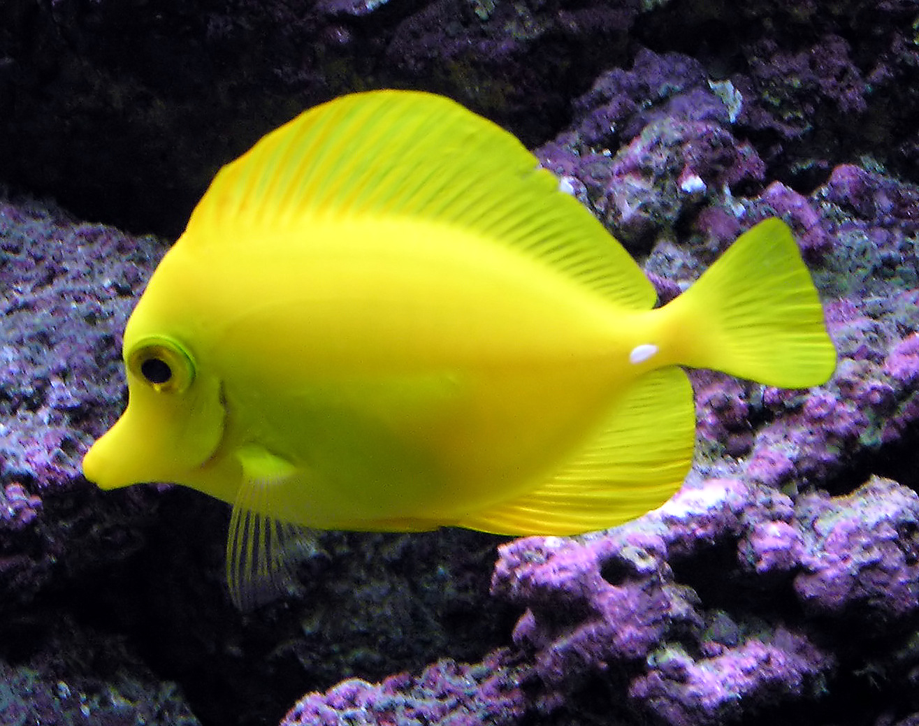 Freshwater fish beginning with r - The Usually Placid Yellow Tang Can Erect Spines In Its Tail And Slash At Its Opponent With Rapid Sideways Movements