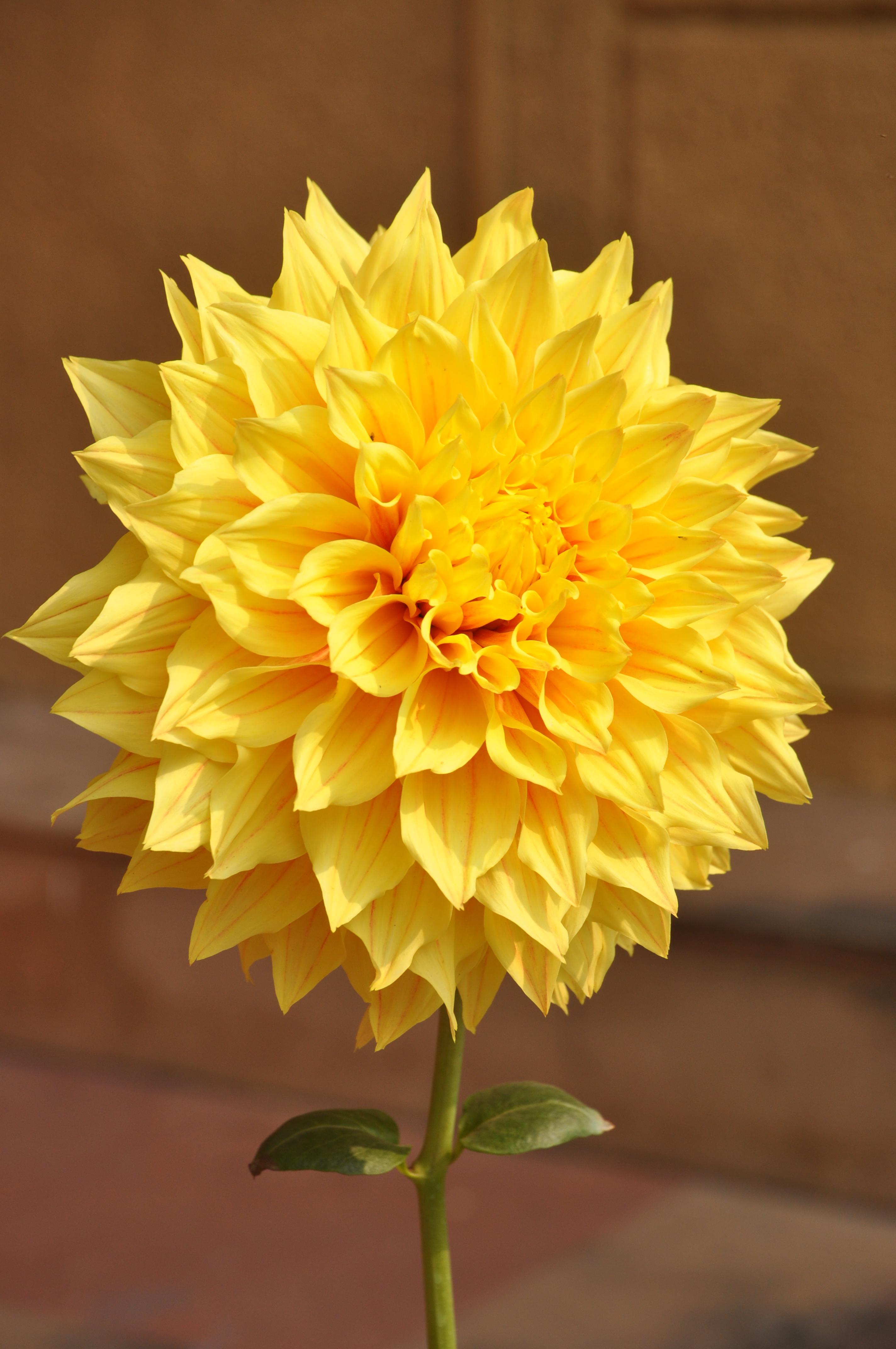 yellow dahlia flower - photo #24