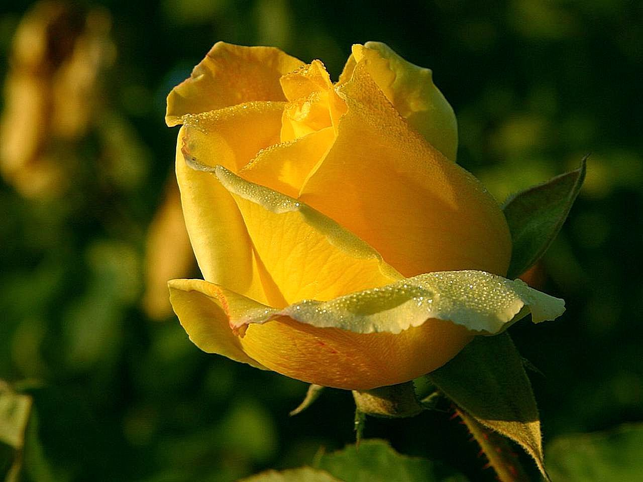File Yellow Rose Macro Close