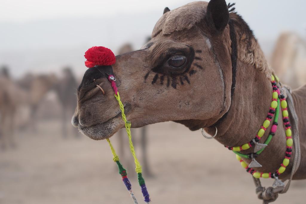 Image result for dressed up camel