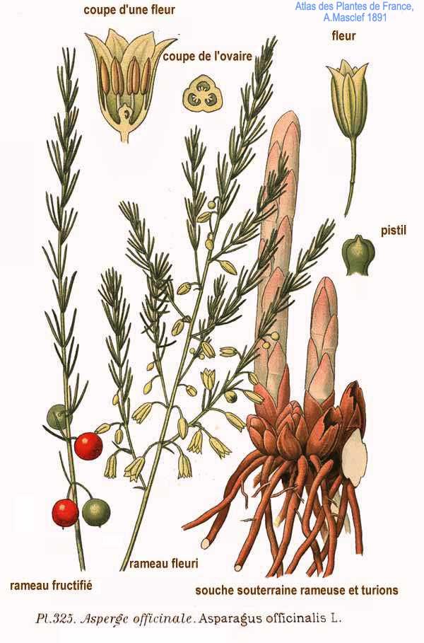 rhizome roter klee