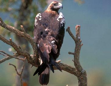 Ficheiro:Aguila imperial iberica.jpg