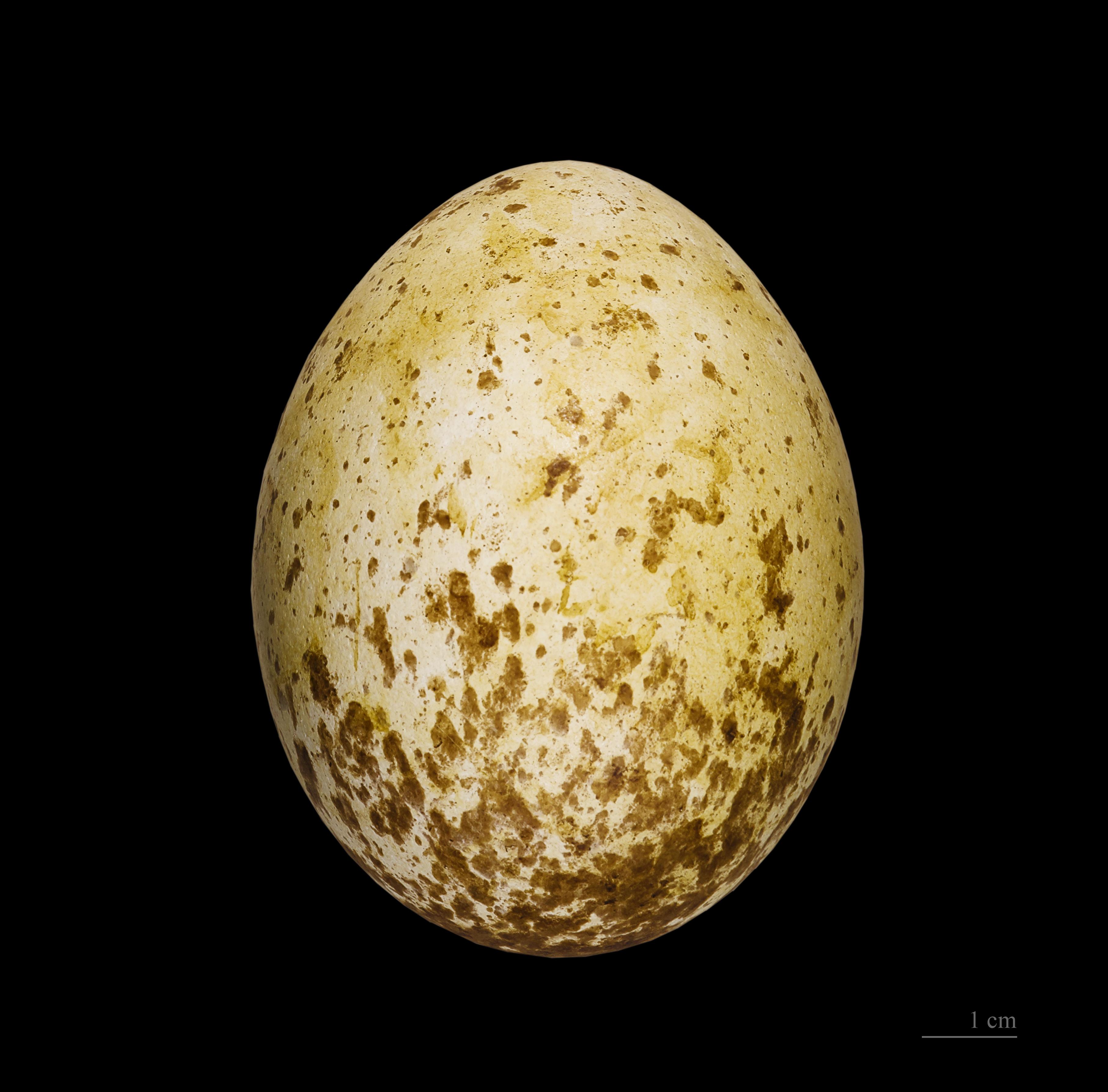 Golden Eagle  American Bald Eagle Information