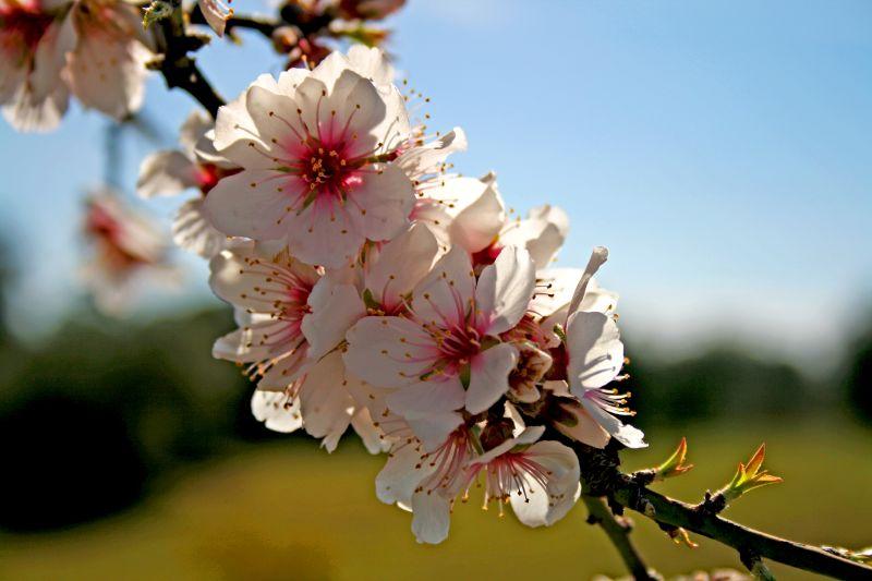detail des fleurs de l 'amandier de chine