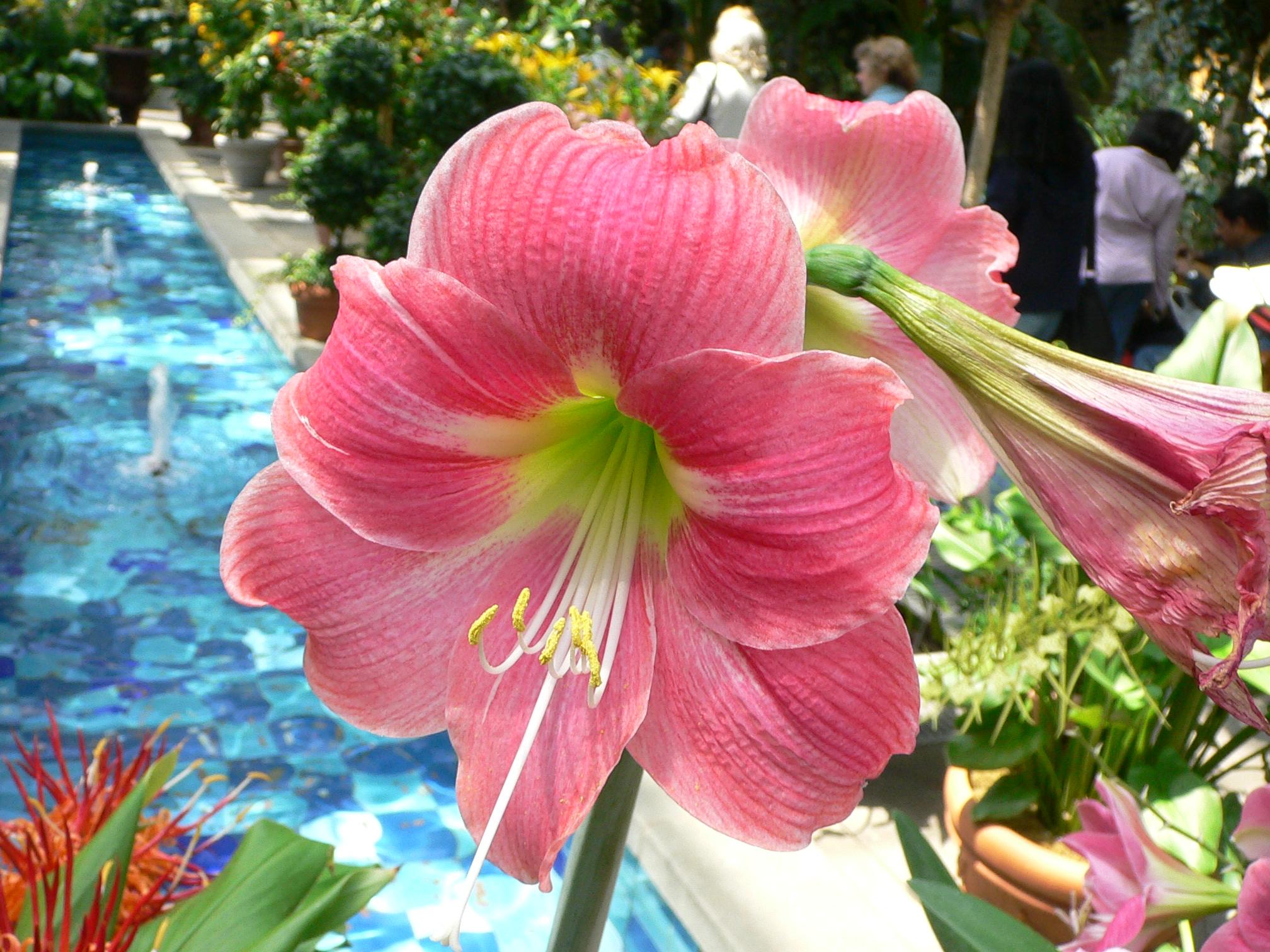 Fleurs amaryllis for Amaryllis fleurs