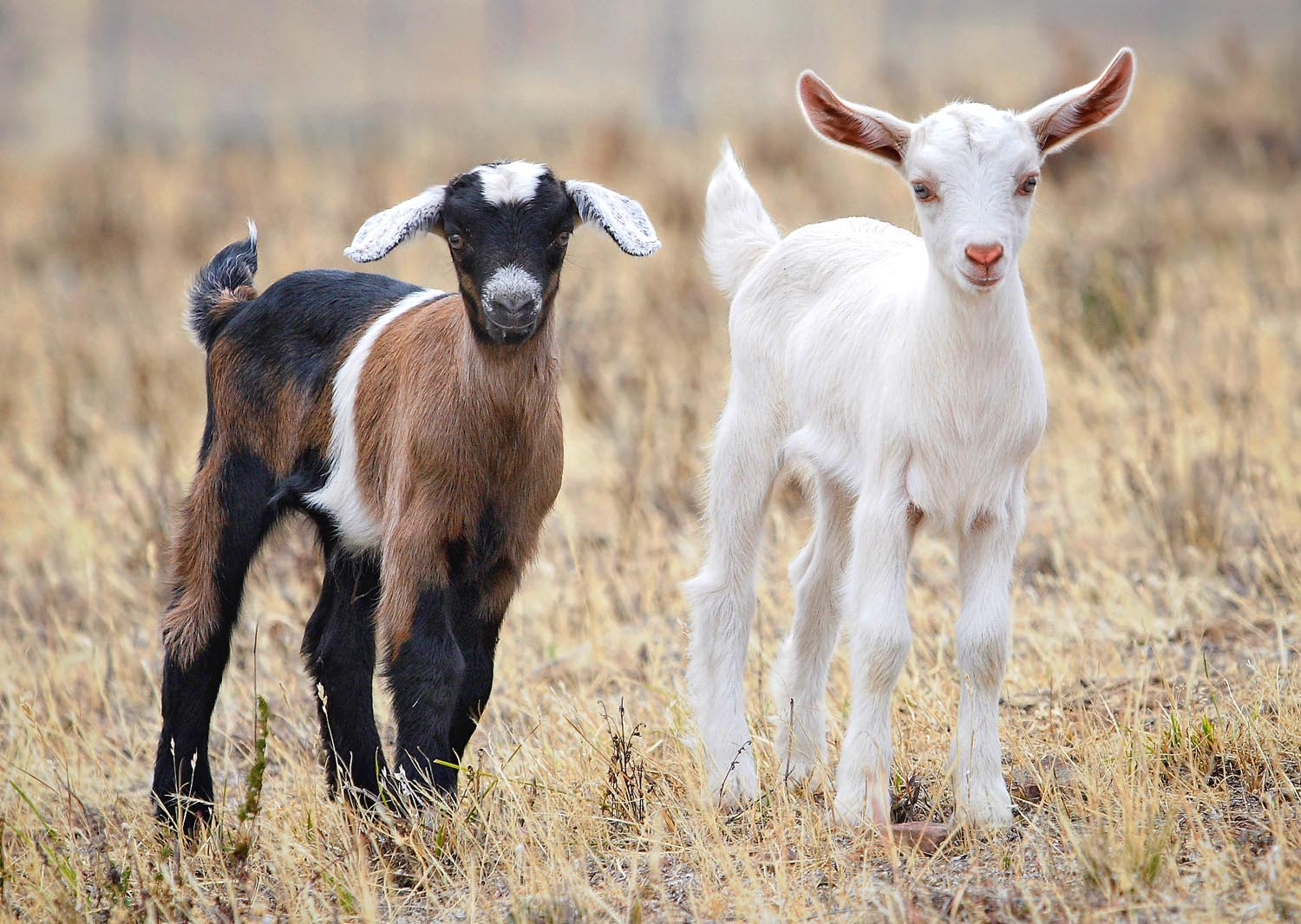 <b>Baby</b>_<b>goats</b>_jan_2007_crop.jpg