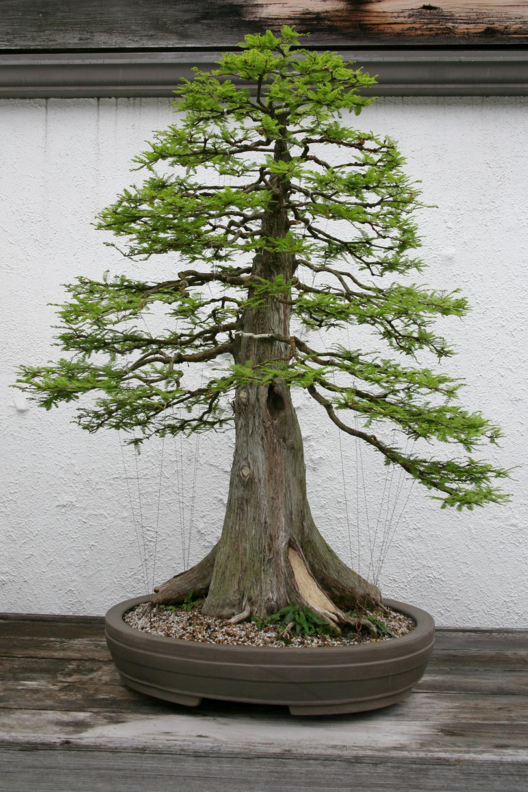 Nature S Way Bonsai