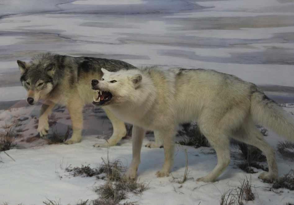 These Are Wolves Food They Eat Joi Washington
