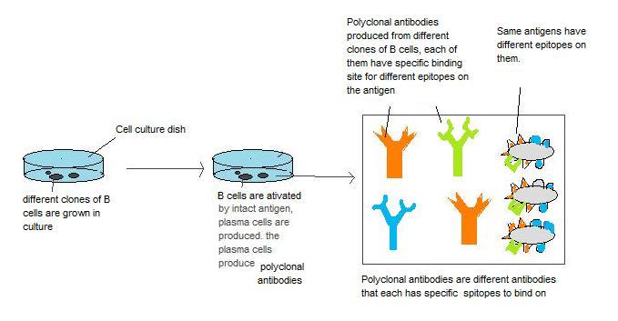 Structural Biochemistry Proteins Antibody And Antigen