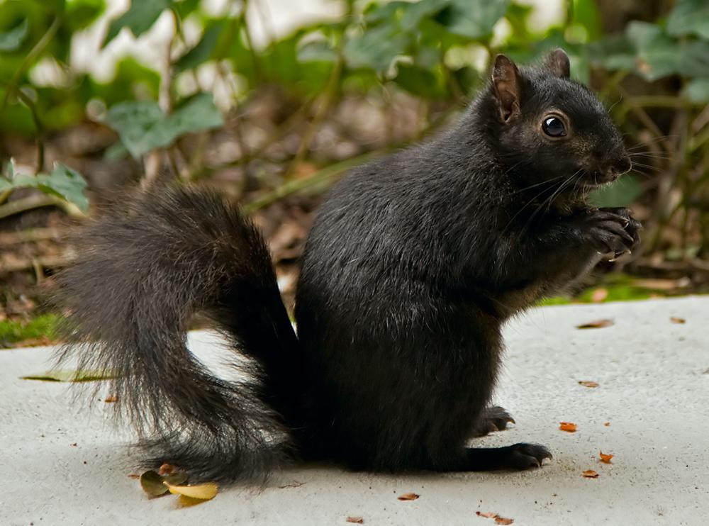 أنواع السناجب  Black_squirrel_in_Santa_Clara_CA