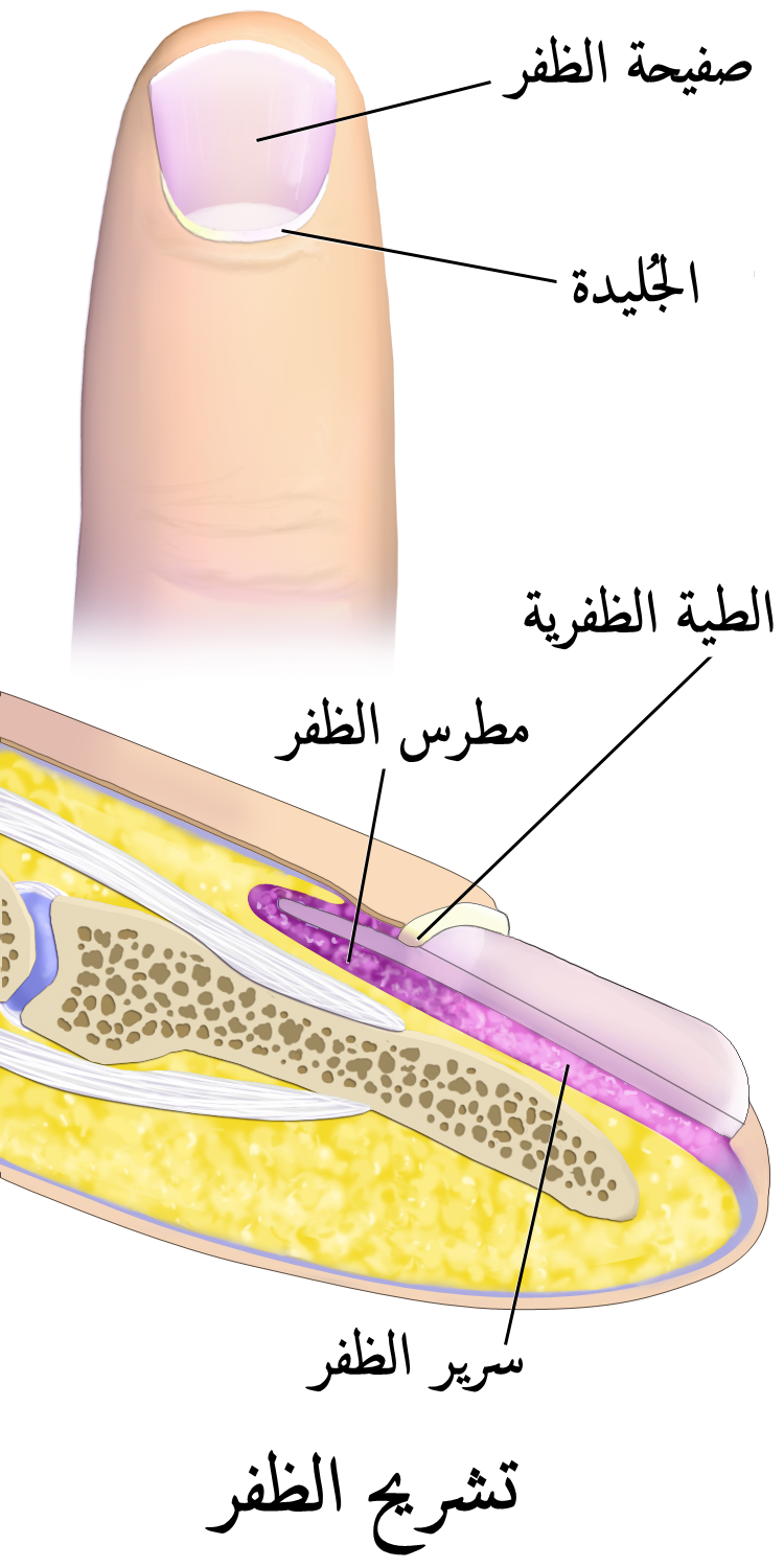 Fancy Human Nail Anatomy Pattern - Anatomy and Physiology Tissue ...