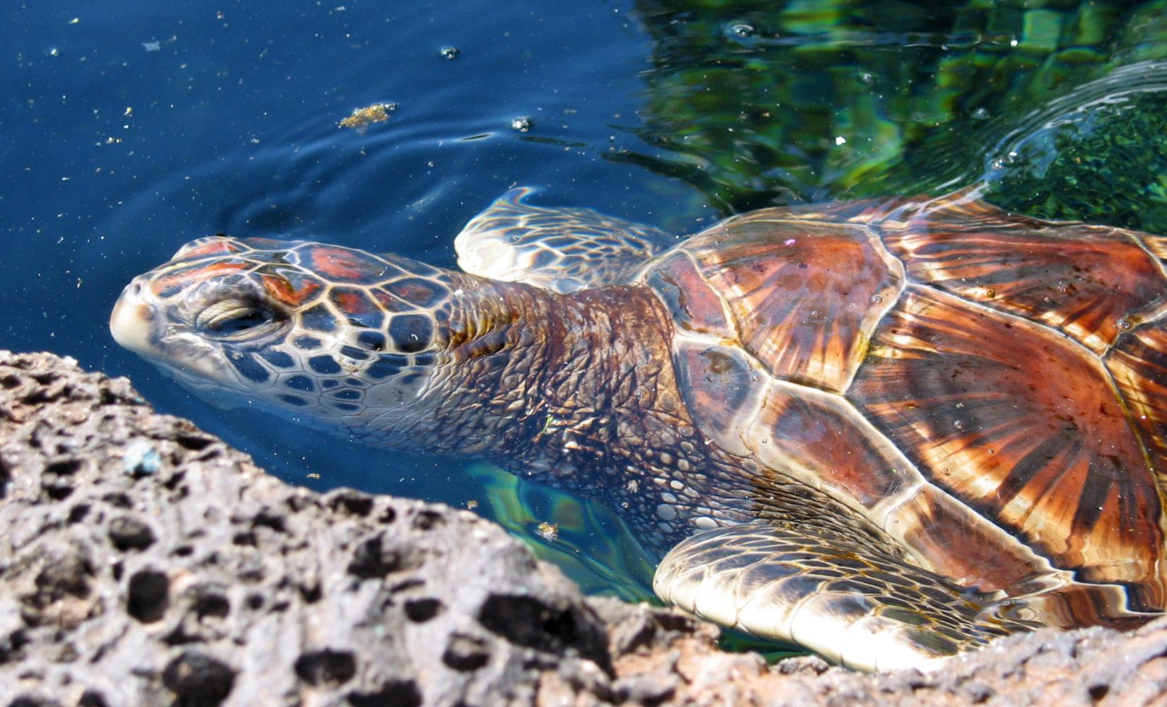 .::Conservación de la Tortuga Verde::. Chelonia_mydas_%28Hawaiian_variety%29