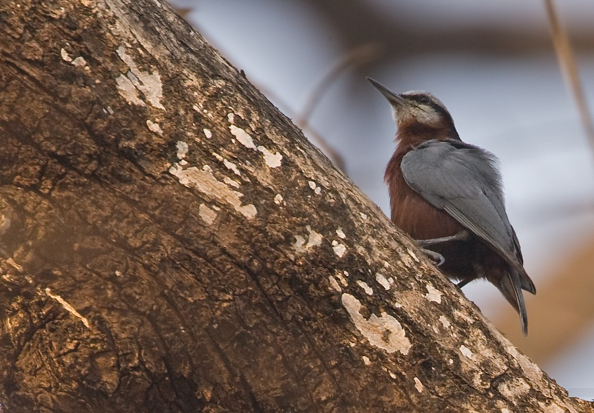 Indian Nuthatch