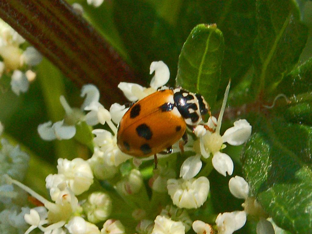 filecoccinellidae hippodamia variegata2jpg