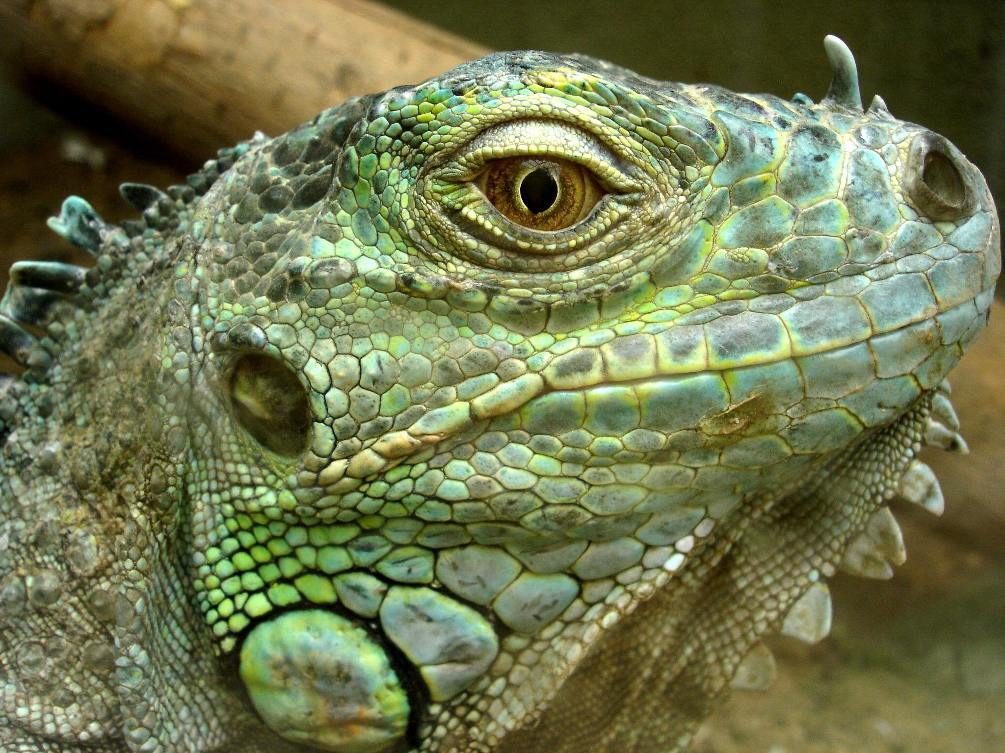 Darica Iguana - Leguanart - Quelle: WikiCommons
