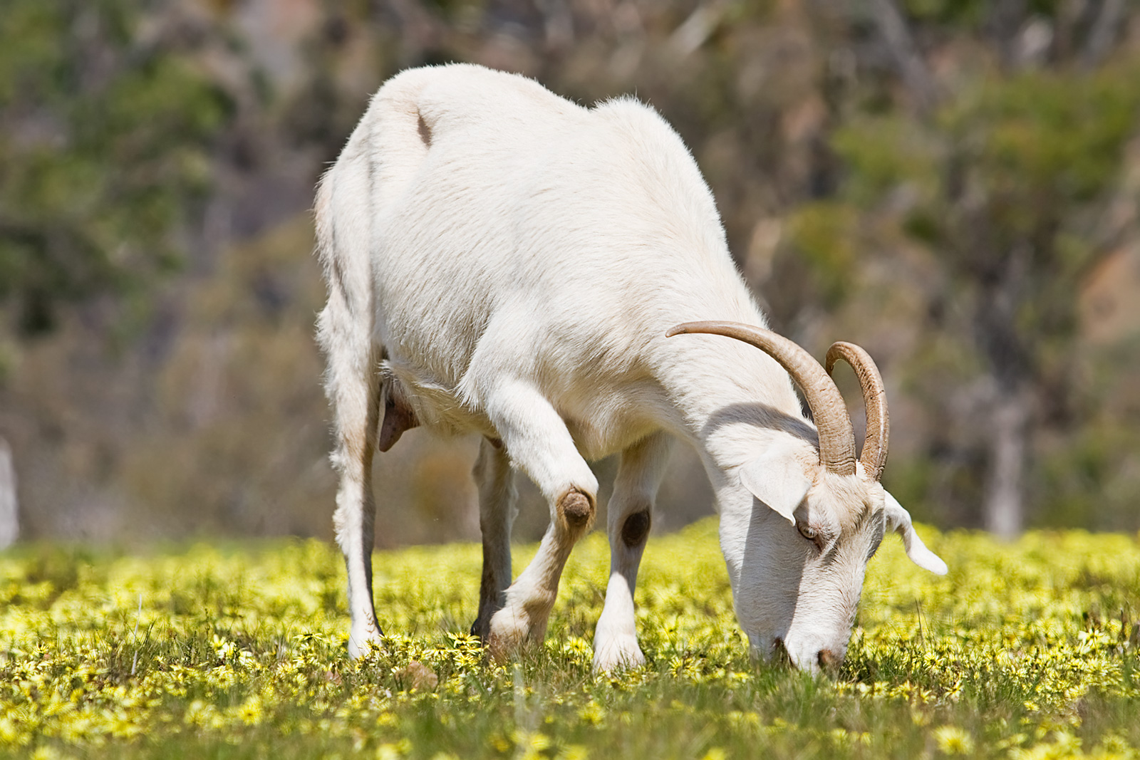 The Diet of a Goat - The Goat Guide