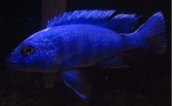 File:Electric blue hap.jpg - Wikimedia Commons