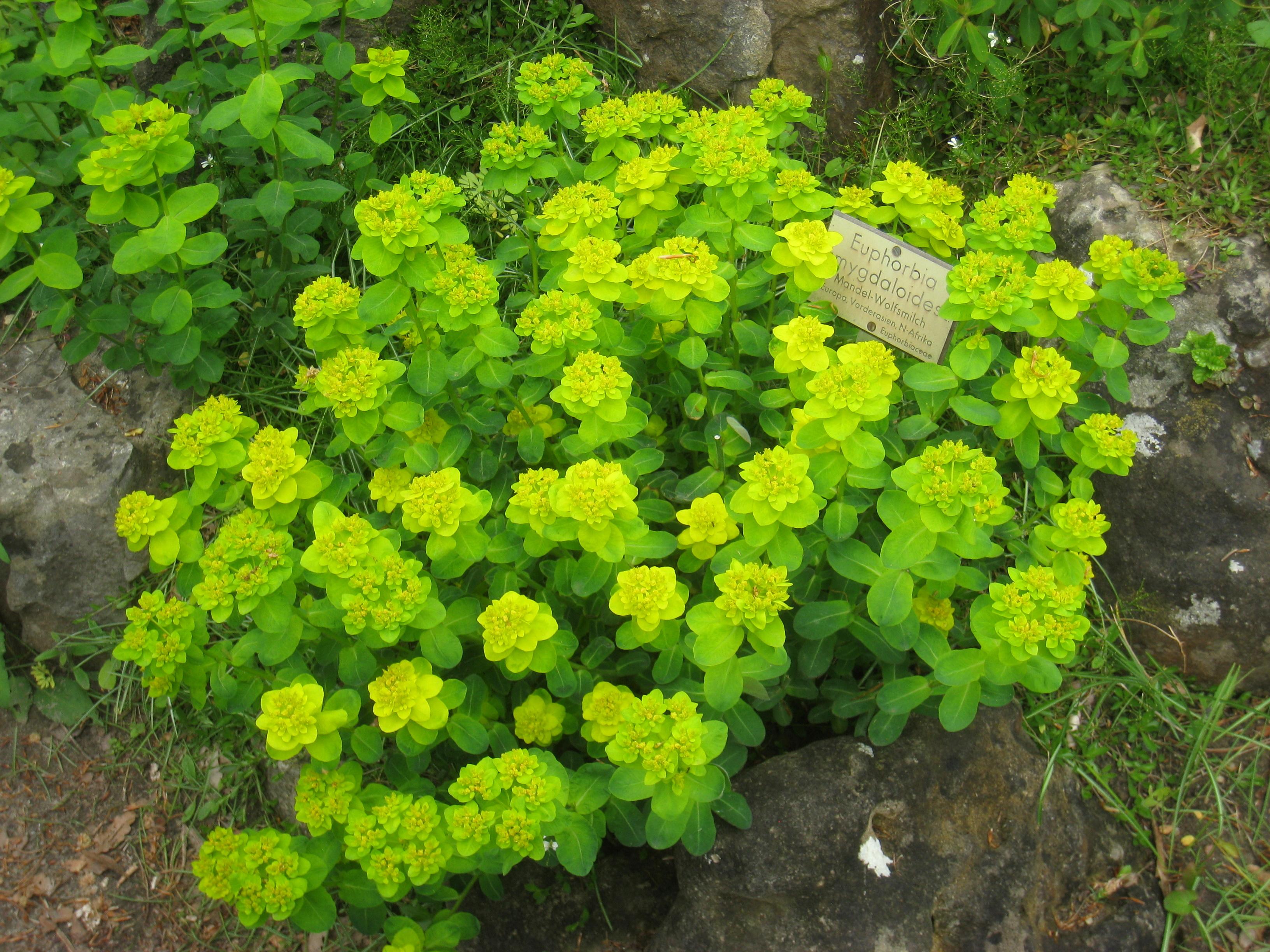 File Euphorbia amygdaloides Berlin Botanical Garden IMG 8500 JPG