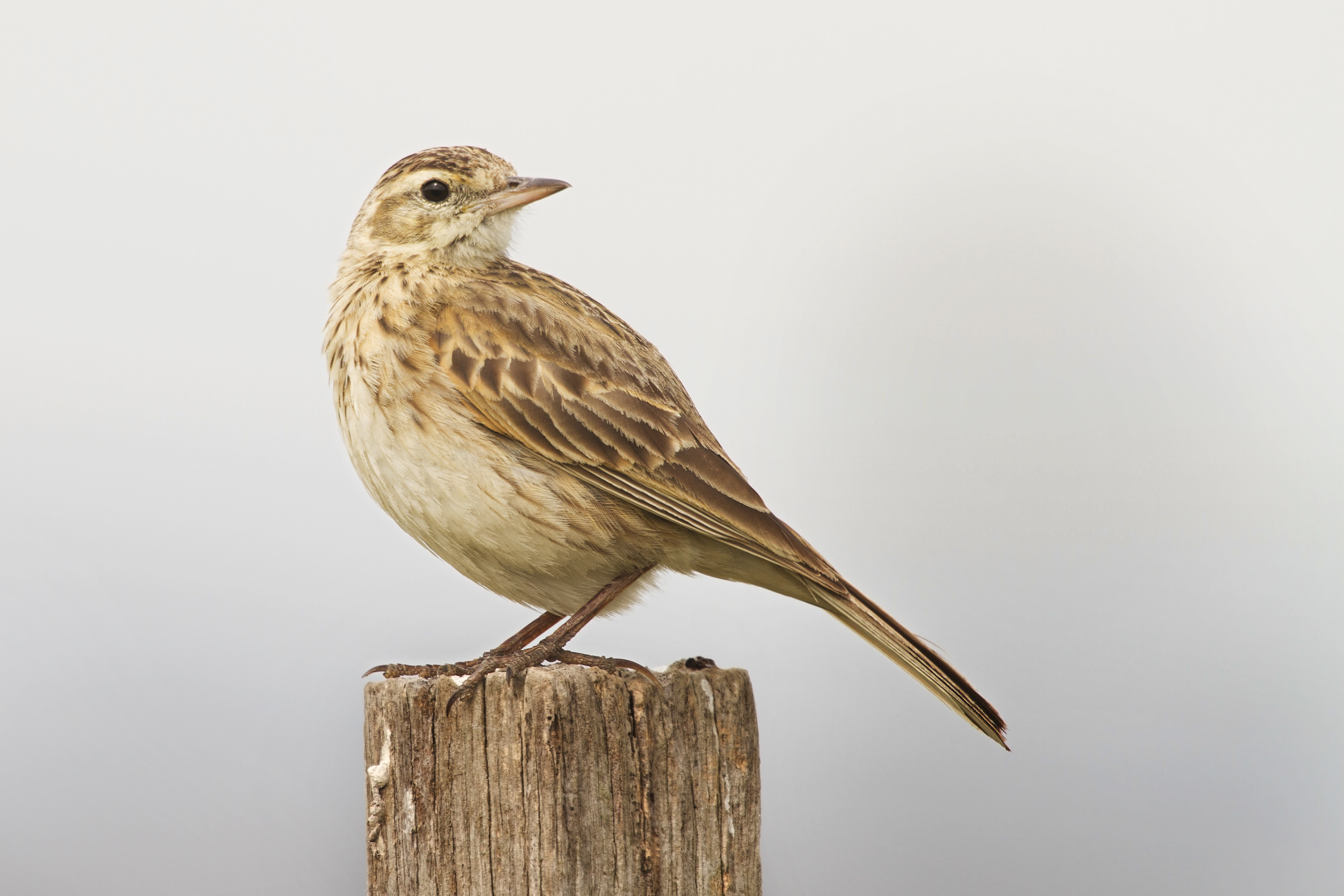 to a skylark analysis Notice shelley's usage of similes to compare the skylark to earthly occurrences that never seem to out-do the birds song his song is ethereal and the hidden poet, the high-born maiden, and the glow-worm are all beautiful like this birds song, but not better.