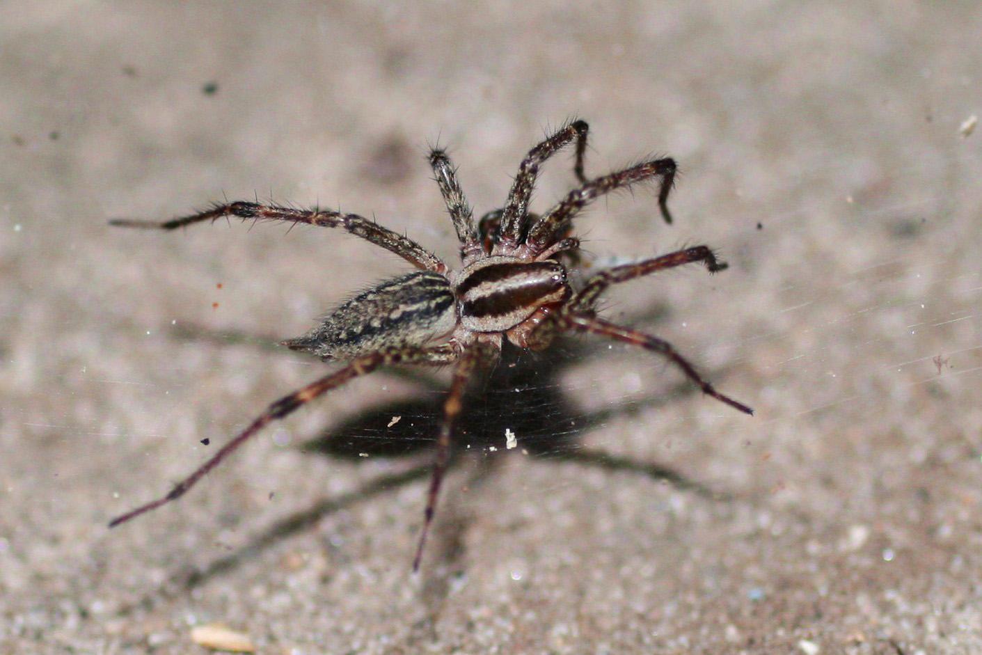 Image Result For Black Widow Spider