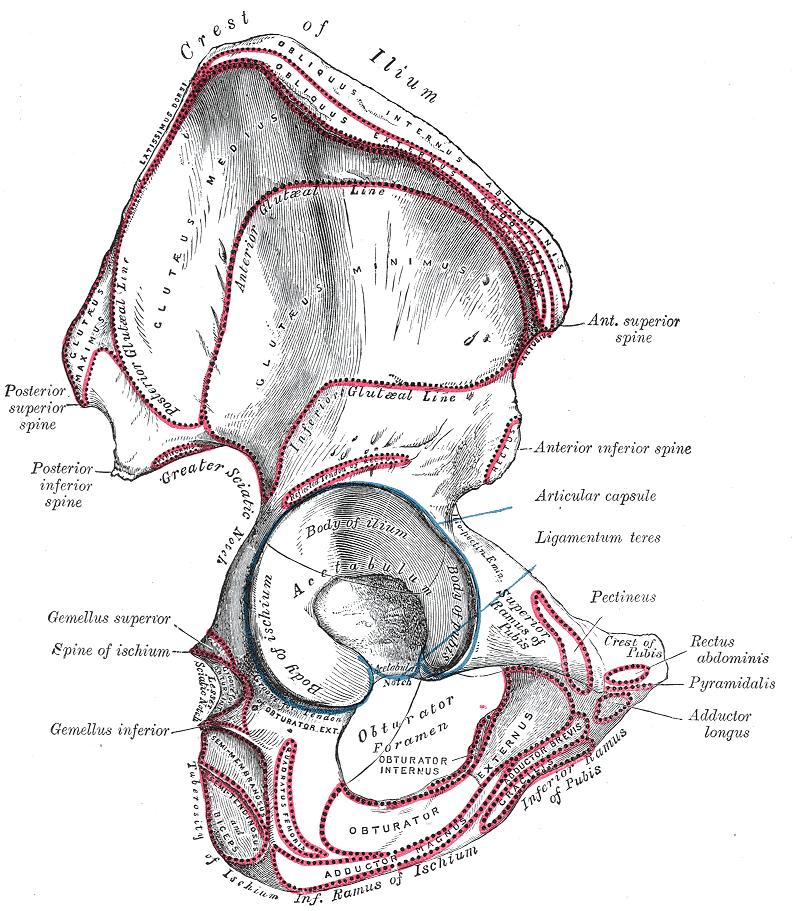 Acetabular notch - Wikipedia