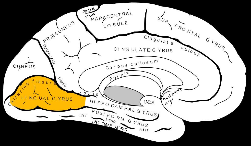 Lingual gyrus - Wikipedia