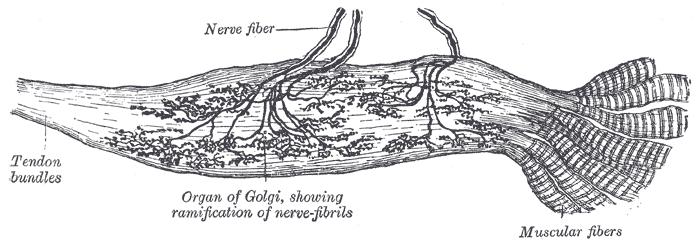 Golgiho tělísko