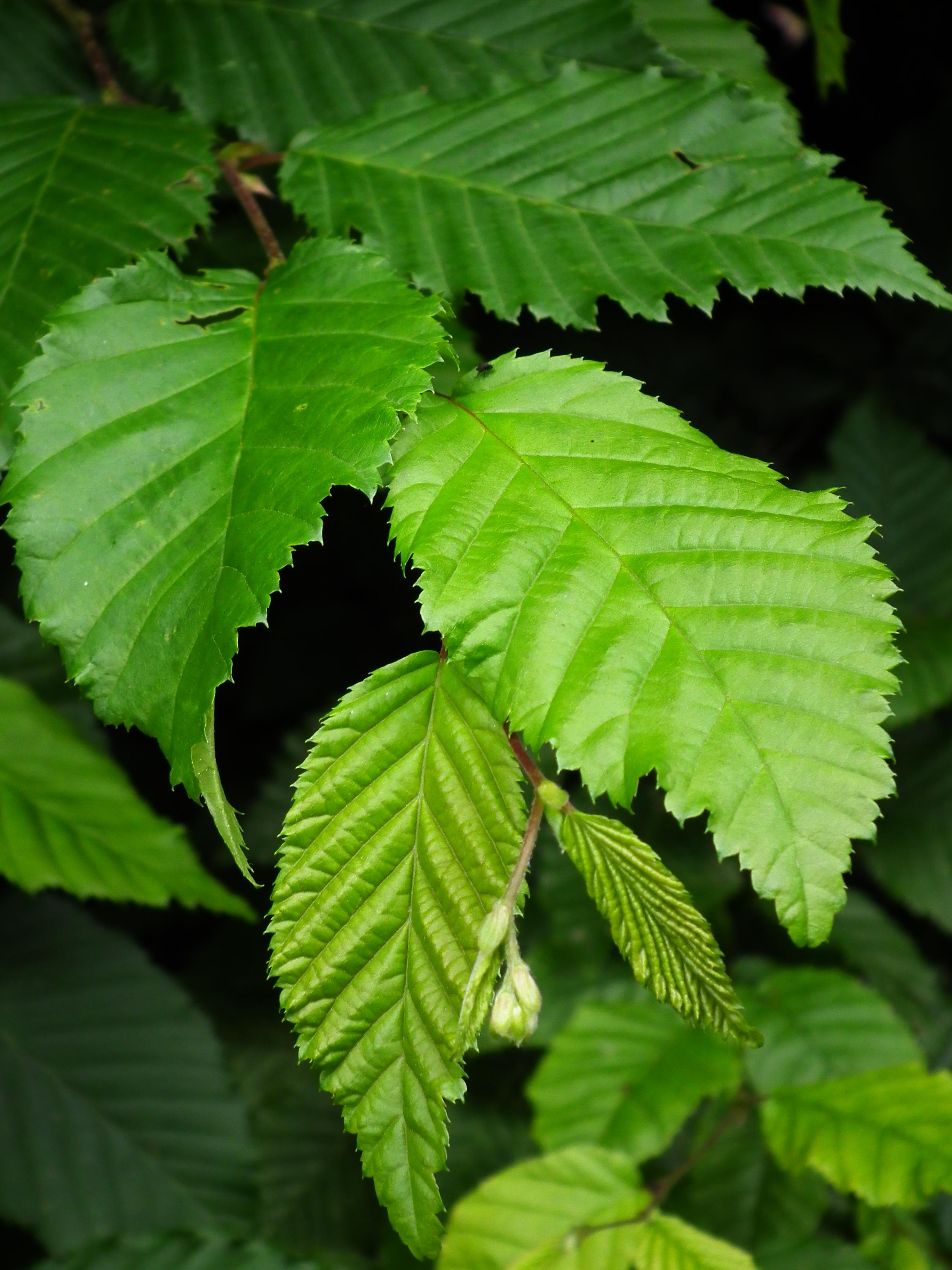 file hainbuche carpinus betulus fulda juni 2012 jpg wikimedia commons. Black Bedroom Furniture Sets. Home Design Ideas