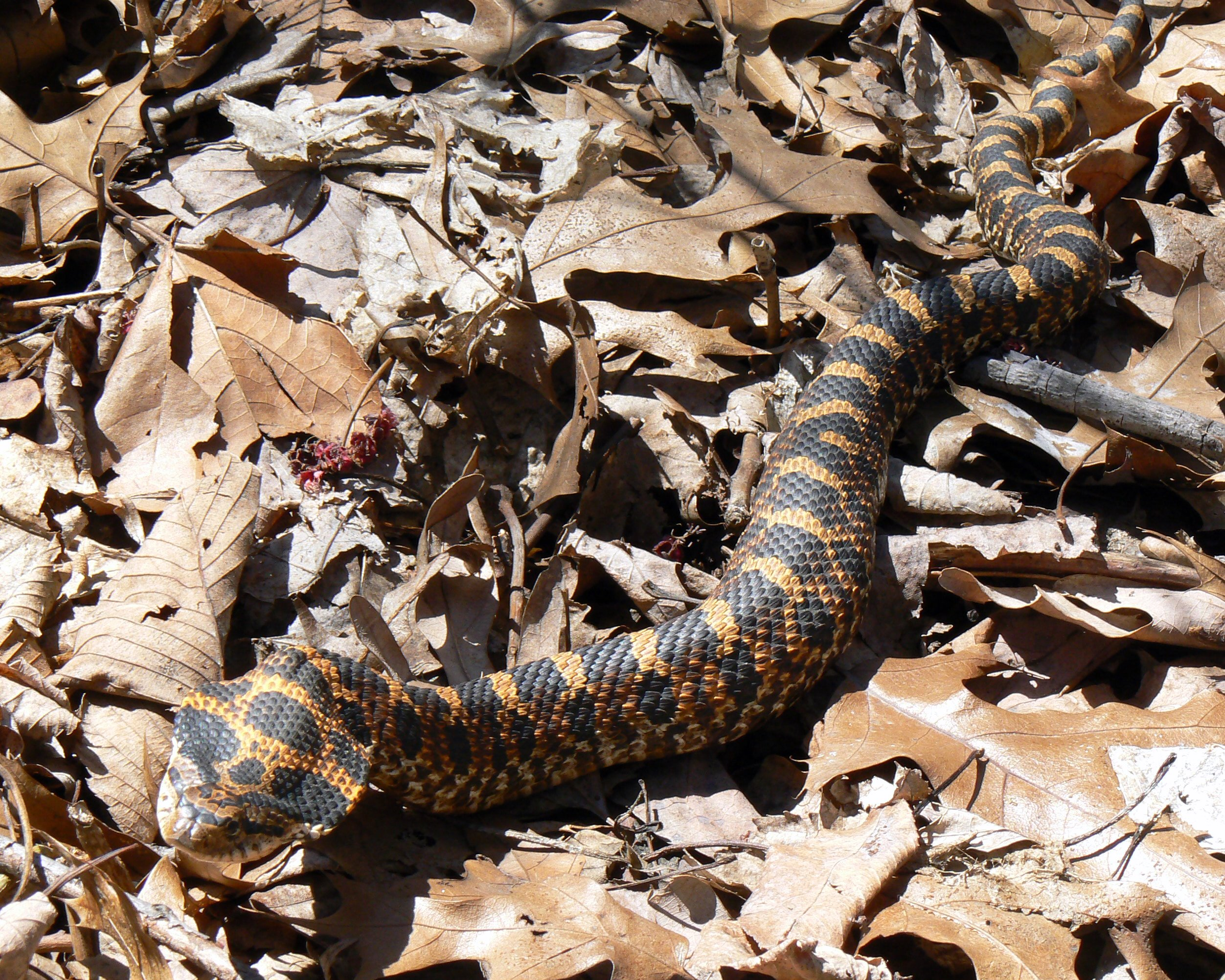Hognose - Wikipedia