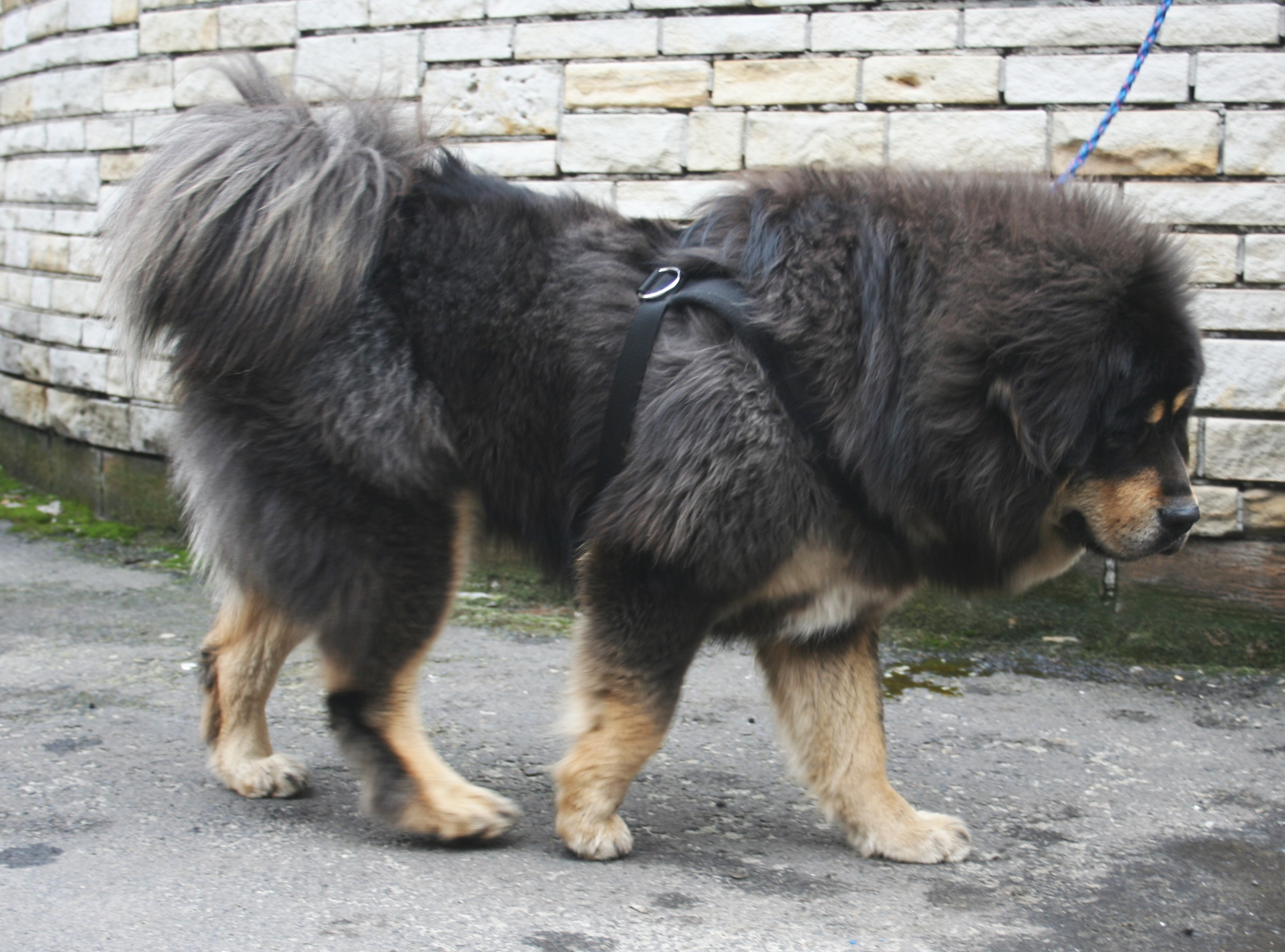 Largest Dog Breed In The World