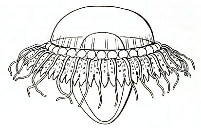 Archivo:Medusae of world-vol03 fig360 Atolla chuni.jpg