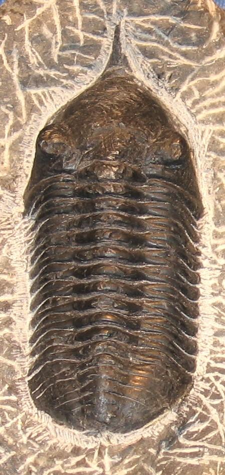 Fosili Megistaspis_species_trilobite