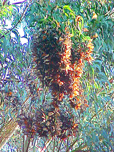 File:Monarch flock.jpg
