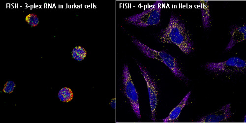 Fluorescence in situ hybridization wikipedia for Fish genetic testing