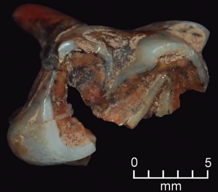 File:Neolicaphrium recens m2 molar jpg - Wikimedia Commons