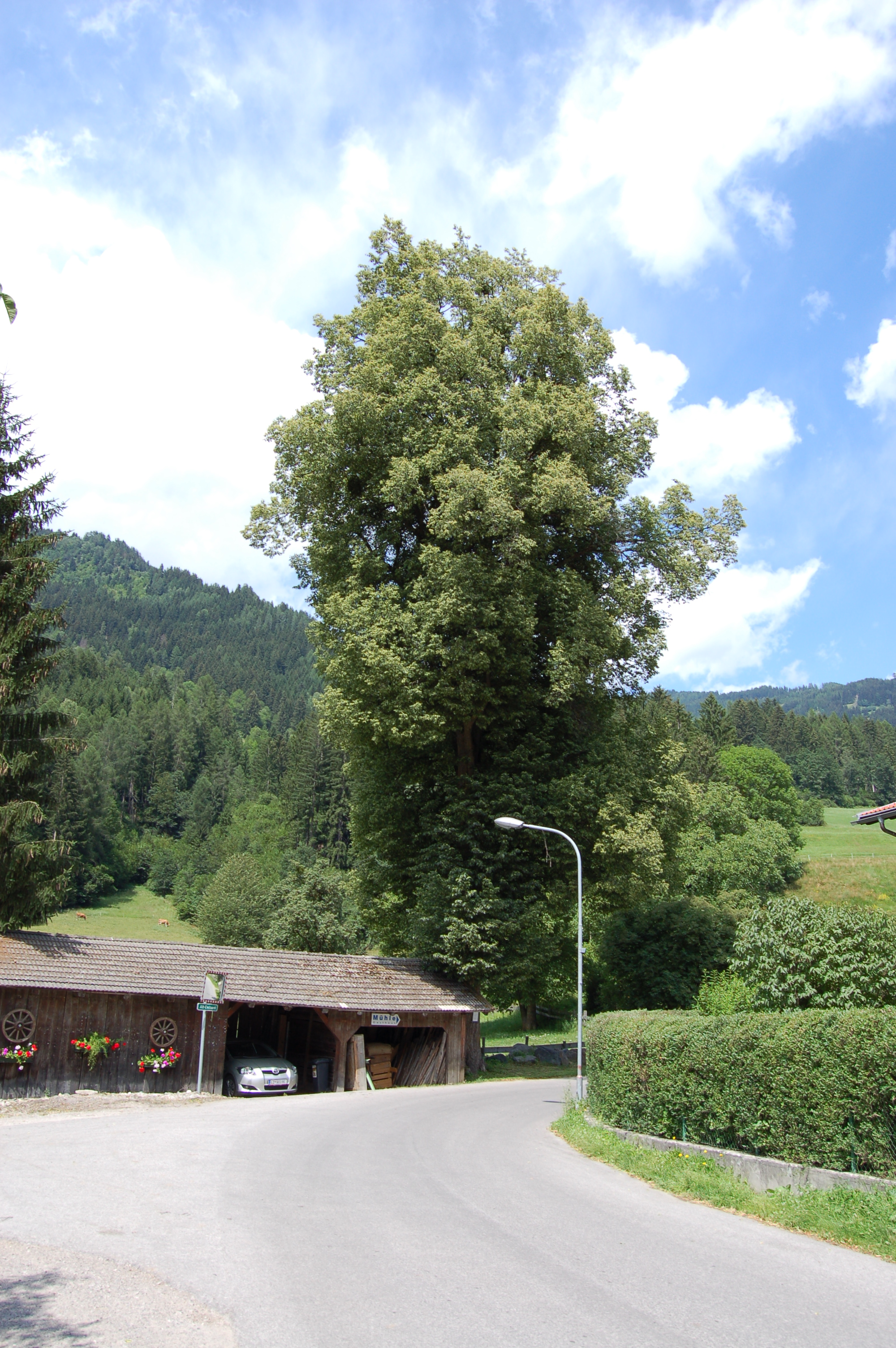 Datei:Nudorf-Debant - Linde in Alt-Debant rematesbancarios.com Wikipedia